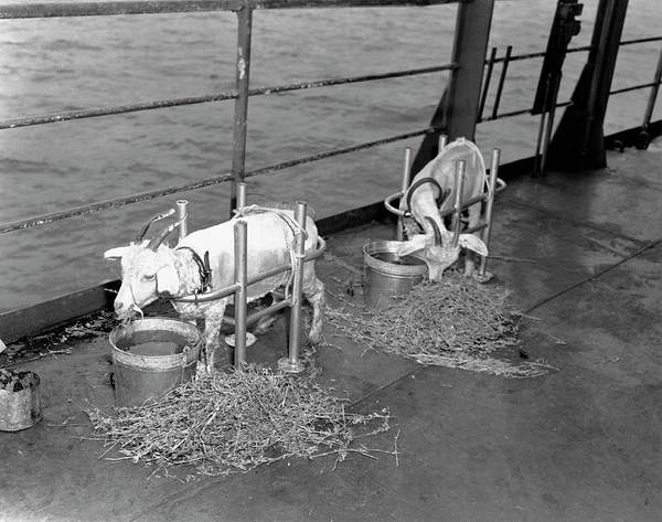 Crossroads Photograph - Goats On Deck Of Ship Before Atom Bomb Detonation by Us National Archives/science Photo Library