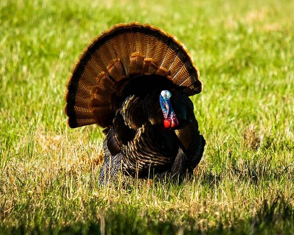 Photograph - Gobble Gobble by Robert L Jackson