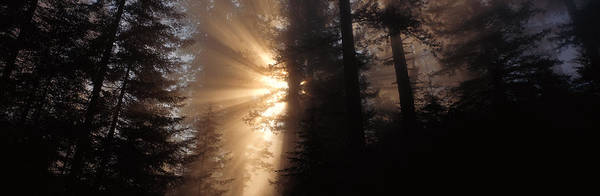Pine Grove Photograph - God Rays, Redwoods National Park, Ca by Panoramic Images