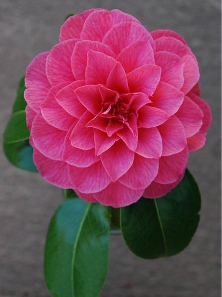 Camelia Photograph - God's Perfection by Carol  Eliassen