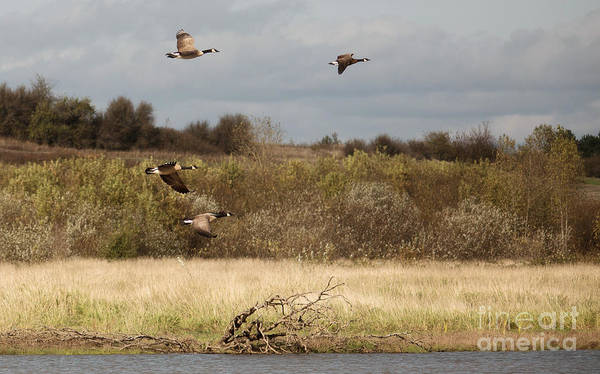 Canadian Geese Photograph - Goin' South by Rebecca Cozart