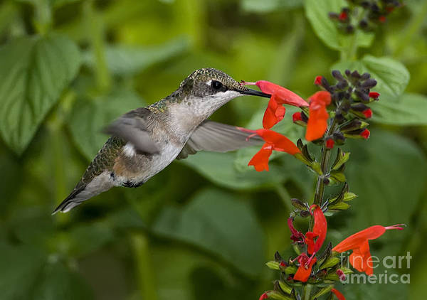 Wall Art - Photograph - Going For The Nectar by Scarlett Images Photography