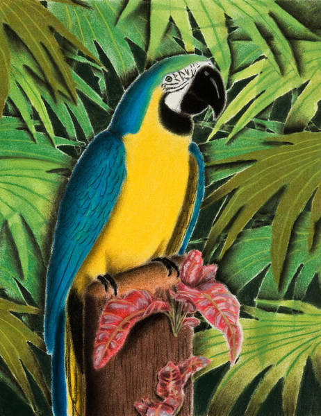 Blue Parrot Drawing - Gold And Blue Macaw by Jeanette K