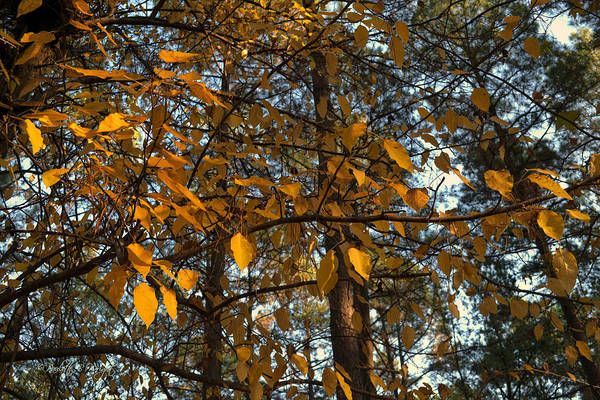 Photograph - Gold Coins Floating In The Trees by Paulette B Wright