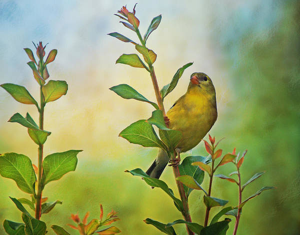Photograph - Goldfinch On Branch by Sandy Keeton