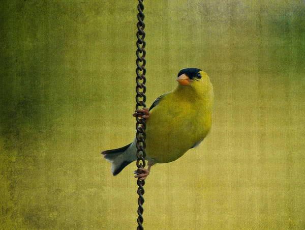 Photograph - Goldfinch On Chain by Sandy Keeton