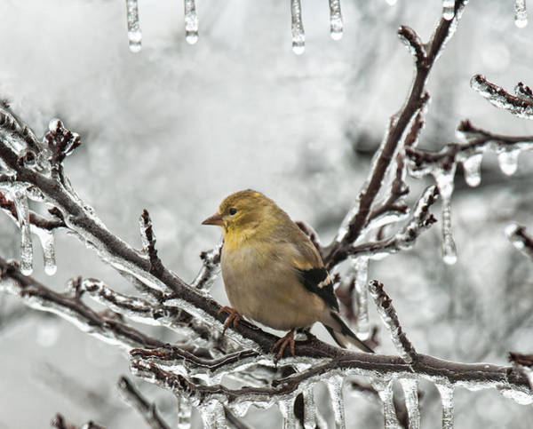 Photograph - Gold Finch With Icicles by Lara Ellis