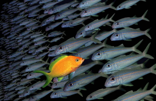 Gold Fish Swimming Opposite Direction To Grey Shoal Art Print by Steve Bloom