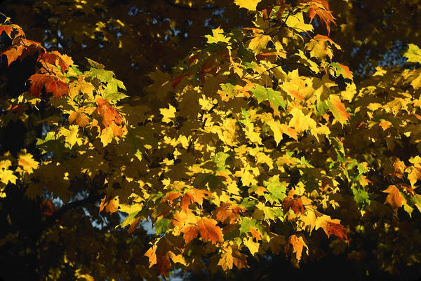 Acer Saccharum Photograph - Gold Leaved Tree by Sally Weigand
