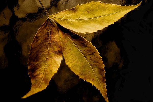 Photograph - Gold Leaves 2013 by Beth Akerman