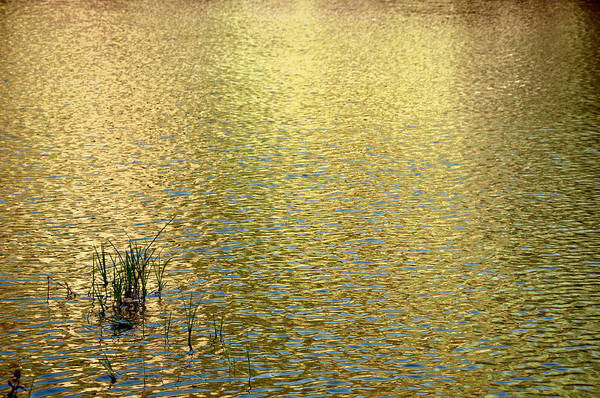 Photograph - Gold Morning Sunlight Reflected In Pond by Phyllis Meinke