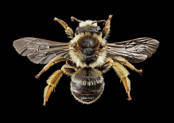 Image Stacking Photograph - Gold-tailed Melitta Bee by Us Geological Survey