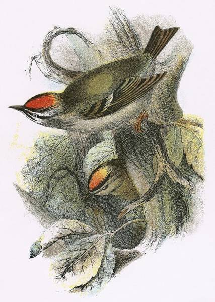 Ornithology Photograph - Goldcrest Bottom And Firecrest Top by English School