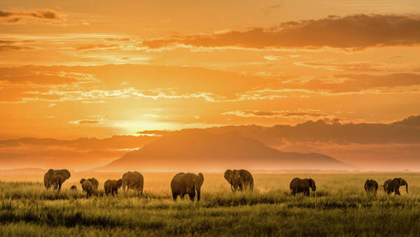 Amboseli Wall Art - Photograph - Golden Africa by John J. Chen