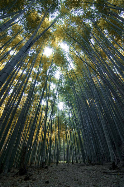 Golden Bamboo Forest Art Print by Aaron Bedell