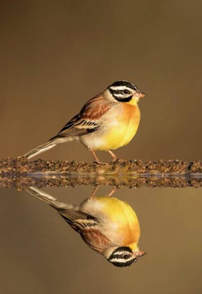 Wall Art - Photograph - Golden-breasted Bunting With Reflection by Tony Camacho