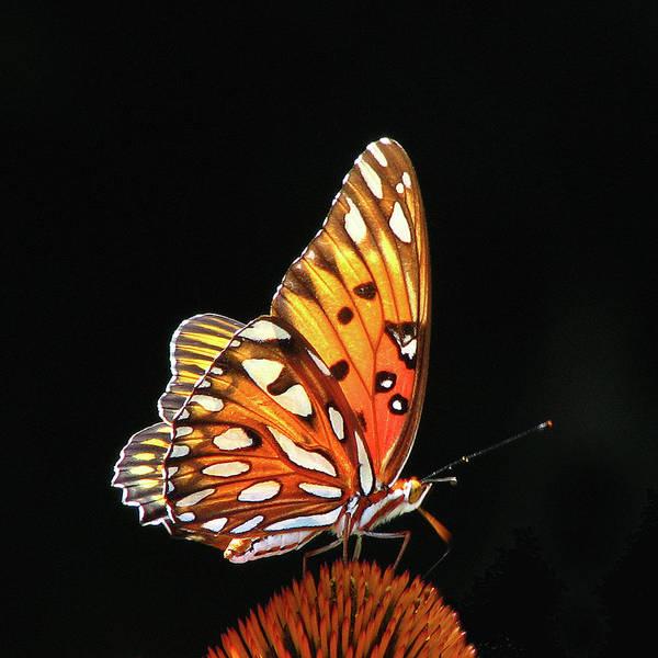 Gulf Fritillary Wall Art - Photograph - Golden Butterfly Against Black by Mim Eisenberg