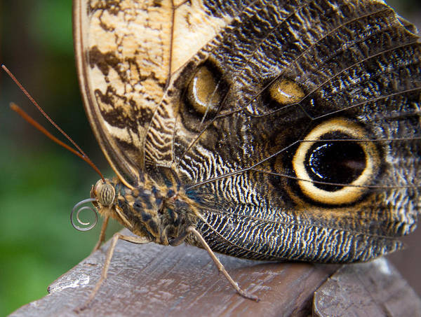 Photograph - Golden Butterfly by Natalie Rotman Cote