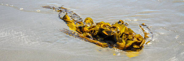Photograph - Entangled Golden Seaweed by Roxy Hurtubise