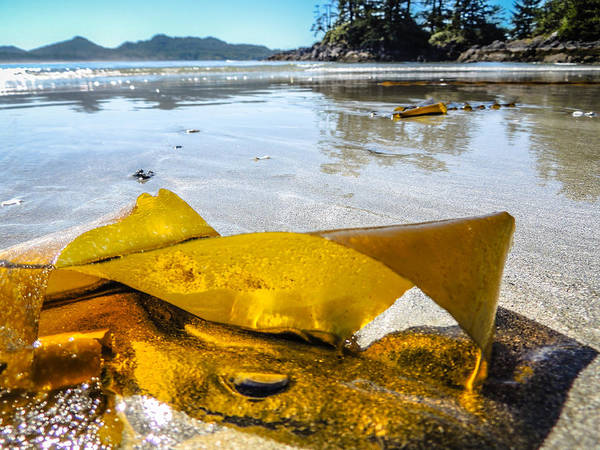 Photograph - Sun Lit Seaweed by Roxy Hurtubise