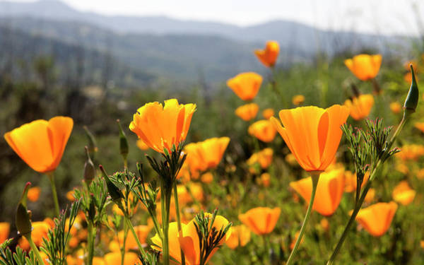 Annual Photograph - Golden California Poppies by Tom Norring