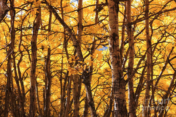 Photograph - Golden Canopy by Gerry Bates
