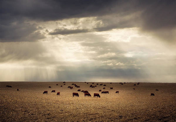Nebraska Photograph - Golden Cattle by Jake Olson Studios Blair Nebraska