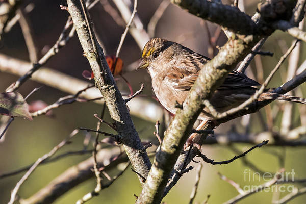 Photograph - Golden-crown In A Tree by Kate Brown