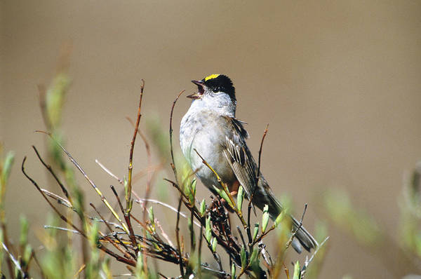 Tweets Photograph - Golden-crowned Sparrow Singing by Paul J. Fusco
