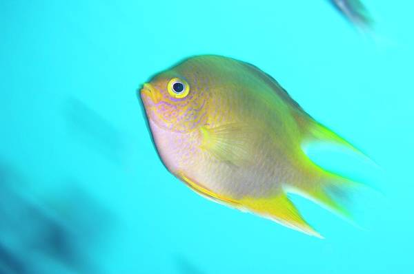 Pomacentridae Photograph - Golden Damselfish by Scubazoo/science Photo Library