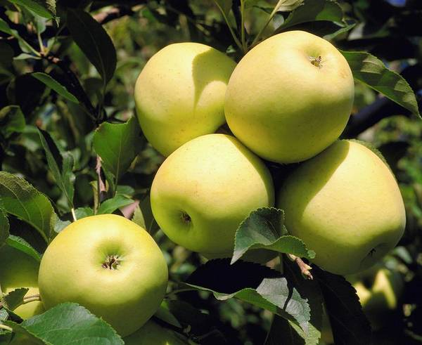 Golden Delicious Wall Art - Photograph - Golden Delicious Apples On Branch by David Henderson/science Photo Library