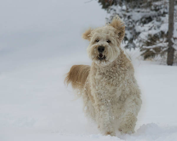 Photograph - Golden Doodle In The Snow 01 by Philip Rispin