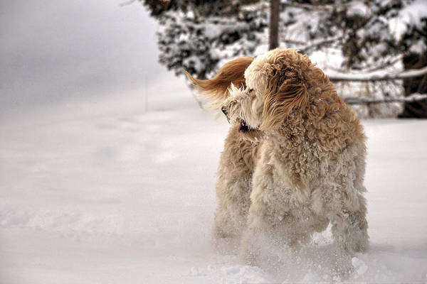 Photograph - Golden Doodle In The Snow 02 by Philip Rispin