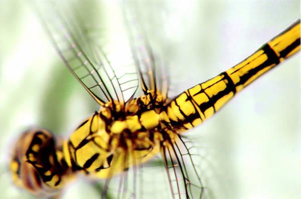Photograph - Golden Dragon by David Rich