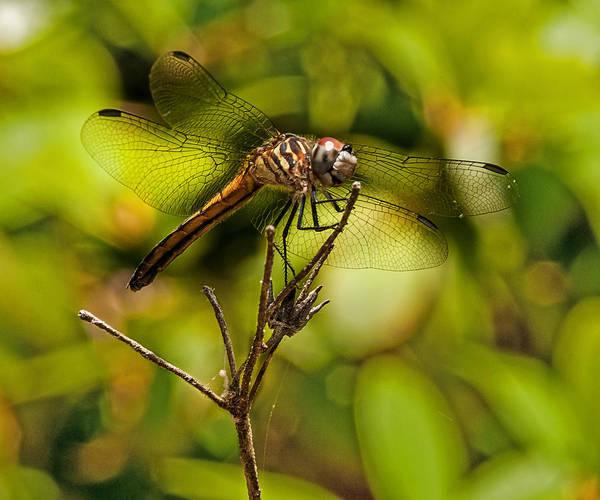 Photograph - Golden Dragon by Lara Ellis
