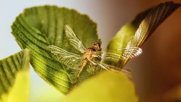 Dragonflies Photograph - Golden Dragon by Susan Capuano