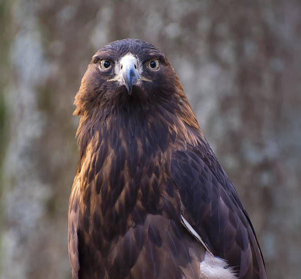 Golden Eagle Photograph - Golden Eagle 4 by Chris Flees