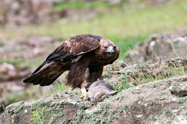 Wall Art - Photograph - Golden Eagle And Prey by John Devries/science Photo Library