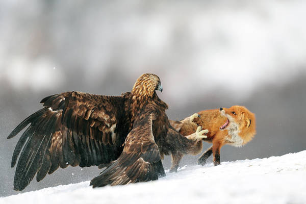 Strong Photograph - Golden Eagle And Red Fox by Yves Adams