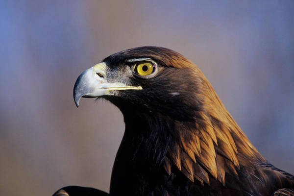 Golden Eagle Photograph - Golden Eagle (aquila Chrysaetos by Richard and Susan Day