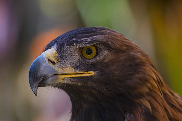 Golden Eagle Photograph - Golden Eagle by Garry Gay