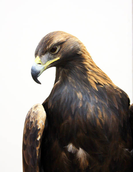 Photograph - Golden Eagle by Gerry Bates