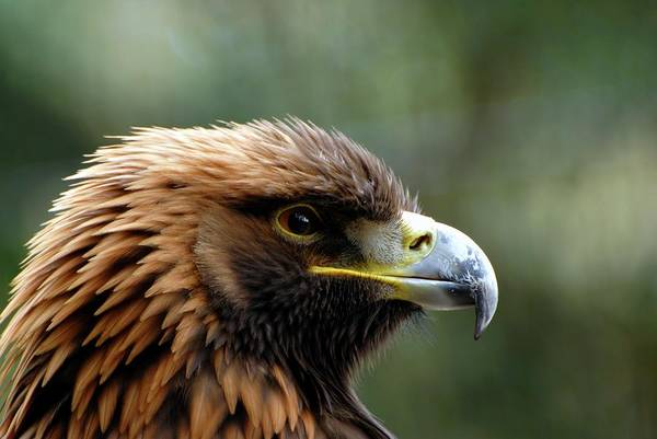 Golden Eagle Photograph - Golden Eagle by Ian Gowland/science Photo Library