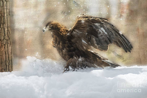 Photograph - Golden Eagle Kicking Up Some Snow   ...paintography by Dan Friend
