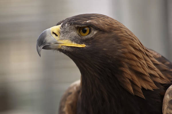 Photograph - Golden Eagle by Lee Kirchhevel