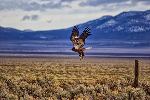 Photograph - Golden Eagle by Michael Rogers