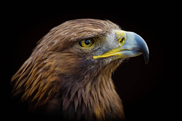 Look Away Photograph - Golden Eagle by Peter Orr Photography