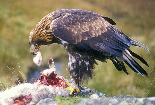 Golden Eagle Photograph - Golden Eagle by Simon Fraser/science Photo Library