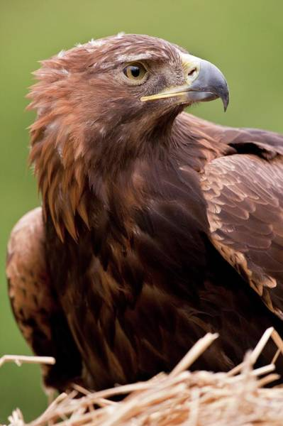 Golden Eagle Photograph - Golden Eagle by Steve Allen/science Photo Library