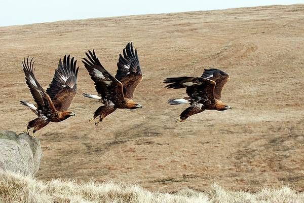 Golden Eagle Photograph - Golden Eagle Taking Off by Alex Hyde